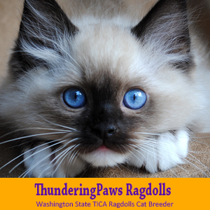 Washington State T.I.C.A. Ragdolls Cat Breeder