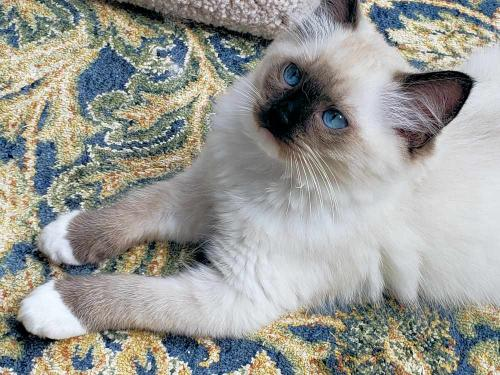 Jasmine - Seal Point Mitted